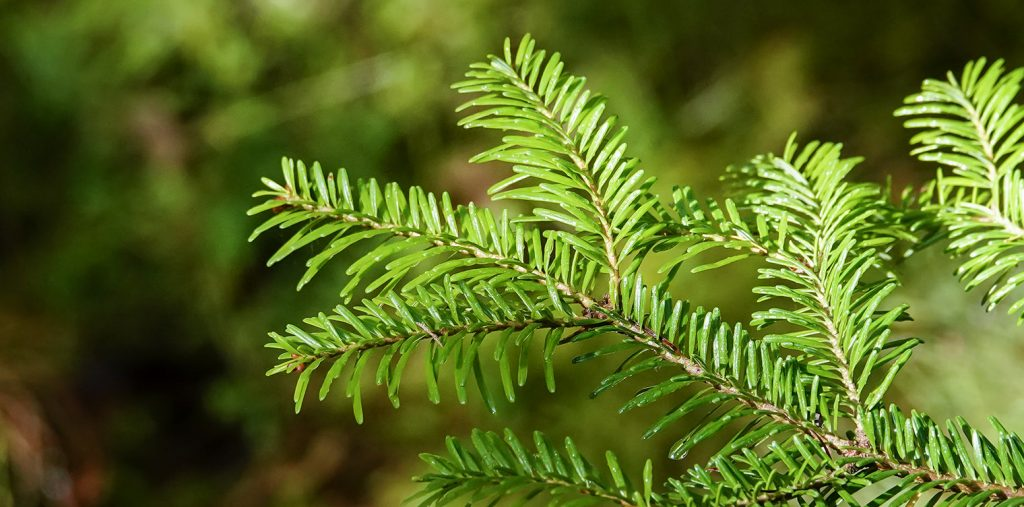 Potential aid to reverse spike protein damage with suramin, shikimic acid & pine needle tea Balsamic-fir-tree-1024x507